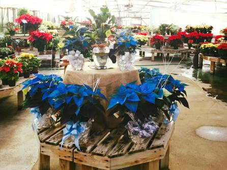 Our regular and colored Poinsettias Add some new and bright colors to your red and green Christmas,